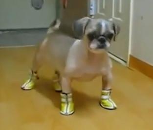Perro con zapatos